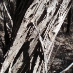 Bark on melaleuca