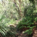 Ferns on Warrimoo Track
