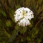 Slender Rice Flower (Pimelea linifolia ssp. linoides)