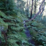 Narrow track through nice ferns