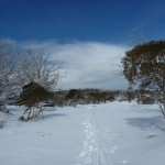 Walking among the scattered snow gums