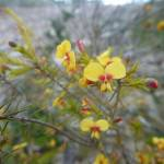 Wildflower (Dillwynia elegans) on Elvina Track