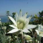 Flannel Flowers in Botany Bay National Park