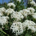 Slender Rice Flowers (Pimelea linifolia) near Cruwee Cove