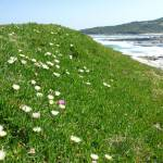 Wildflowers (Pigface) on Cape Banks in Botany Bay National Park