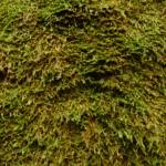 Close up of moss on the moss wall near Boarding House Dam near Watagan Forest Road in the Watagans