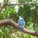 Kingfisher at the Wildlife Exhibits in Carnley Ave Reserve