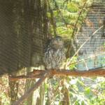 Owl in the Wildlife Exhibits at Carnley Ave Reserve