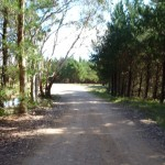 Walking beside the pine plantation near Black Range Camping Ground