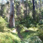 Western edge of Blue Gum Forest