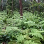 The Blue Gum Servicetrail goes through heavy ferns