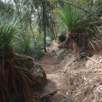 Grass trees along track near Berowra Creek